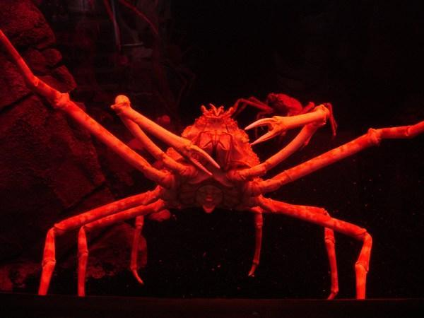 609887-Japanese-spider-crab-2